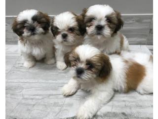 Shih Tzu puppies +447440524997