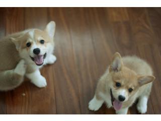 Available Corgi puppies ready now.
