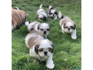 Shih puppies for sale