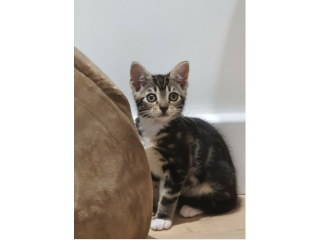Taby kitten for sale equipment included
