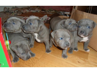 Adorable staffy puppies
