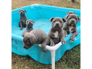Blue Staffy Puppies Avialable