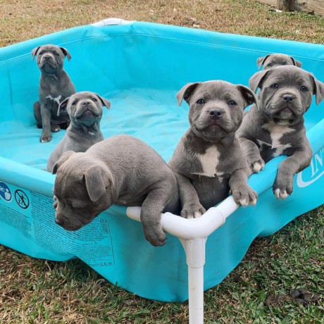 blue-staffy-puppies-avialable-big-0