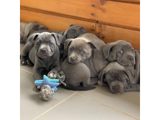 Amazing Blue Staffy Puppies Avialable
