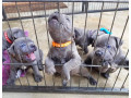 nice-blue-staffy-puppies-avialable-small-0