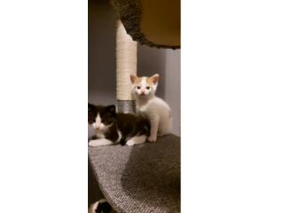 Ragdol X kittens