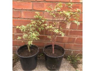 2 Acer Plants Trees | garden gardening flowers allotment