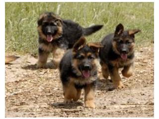 Brave, smart, protective,family raised German Shepherd puppies