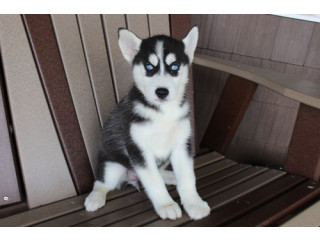Friendly Pomsky puppies for new homes .