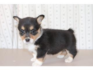 Super Friendly Pembroke Welsh Corgi puppies for sale