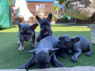 Ow-quality French Puppies ..