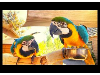 Beautiful Harlegold Macaw Parrots