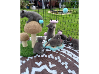 Russian Blue ready to leave