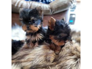 Yorkshire Terrier Puppies Ready Now!!!!!