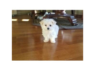 Adorable Maltese pups for sale