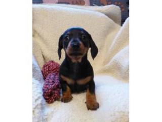 Adorable Daschund puppies for sale