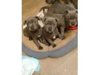 Staffordshire Bull Terrier Puppies For Sale.