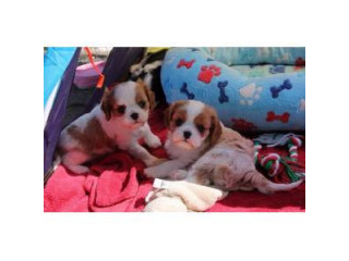 KC Cavalier King Charles Puppies for Sale