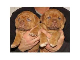 Beautiful Dogue De Bordeaux Puppies.