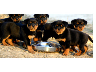 Quality Rottweiler Puppies