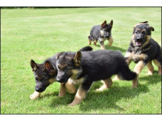 Adorable German Shepherd puppies looking for a loving home.