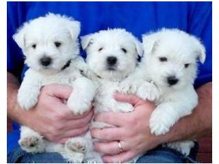 West Highland Terrier Puppies.