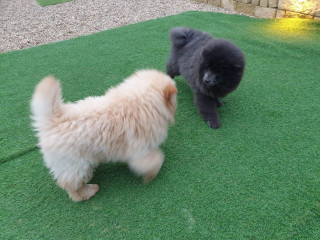 Beautiful Red Kc Reg Chow Chow  Puppies