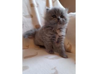 Gorgeous British Longhair Kittens For Sale!