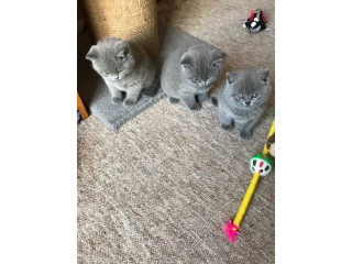 Lovely British Shorthair Kitten Available Now