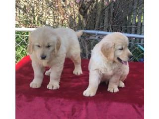 Beautiful Golden Retriever Pups.