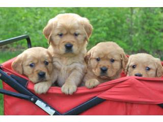Elite smart pro-Golden Retriever puppies