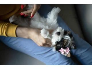 Biewer Terrier puppies