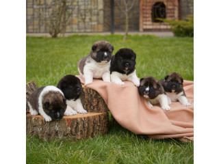 Akita Puppies Available