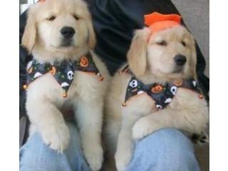 Healthy Golden Retriever puppies