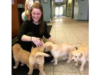 4 Adorable Golden Retriever Puppies