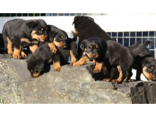 Male and female Rottweilerpuppies for sale