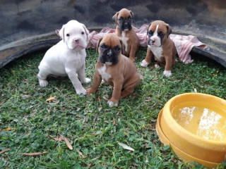 Adorable Boxer Puppies For Sale .