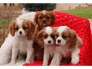 Excellent Cavalier King Charles Spaniel Puppies.