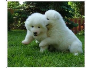 Kc Reg Samoyed Puppies.