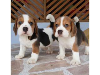 Beautiful Beagle babies boy Available.