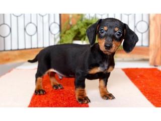 Stunning F/M Dachshund Puppies